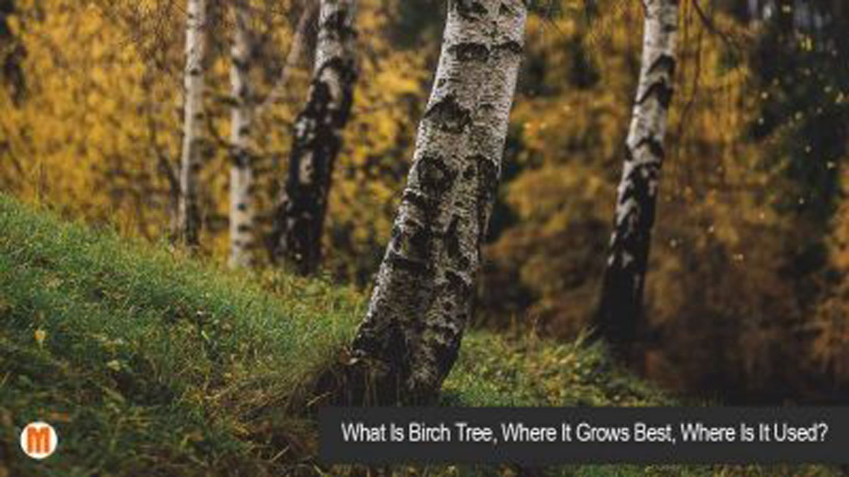 what is birch tree