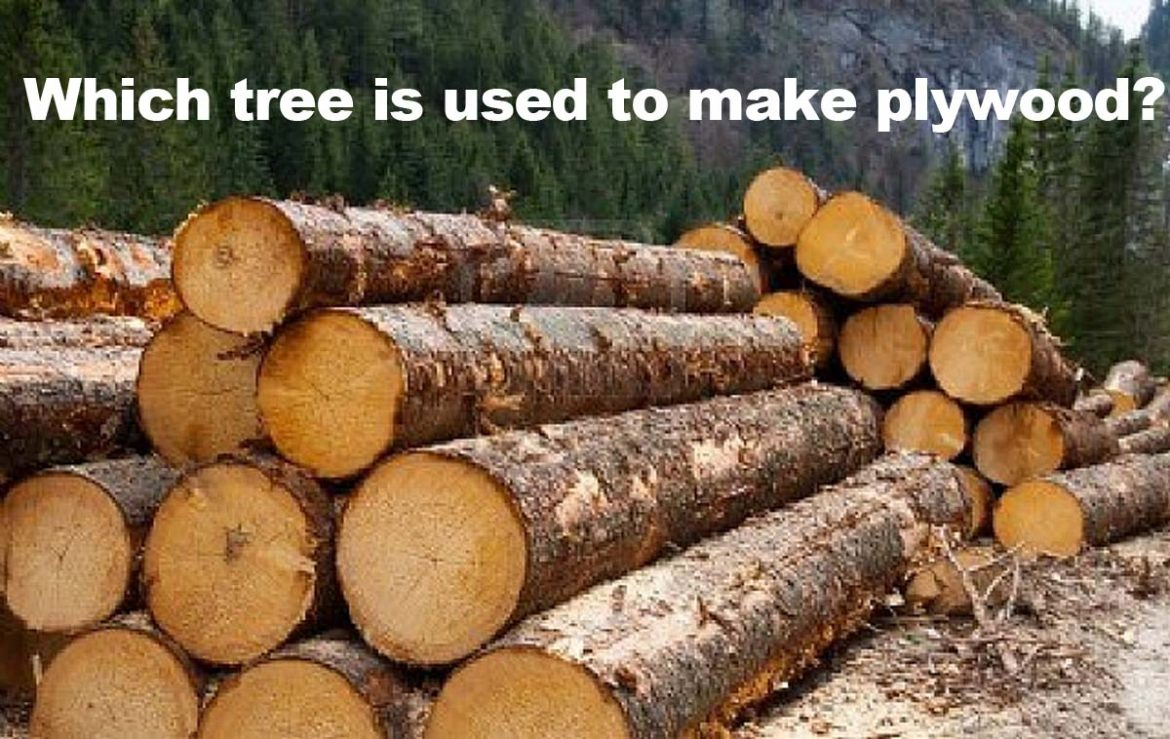 Which tree is used to make plywood