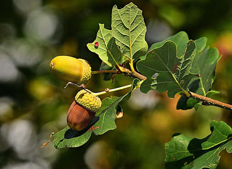 What is Oak Tree (4)